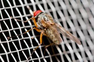 Fliege auf Insektenschutz